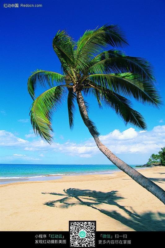海滩上的椰子树图片