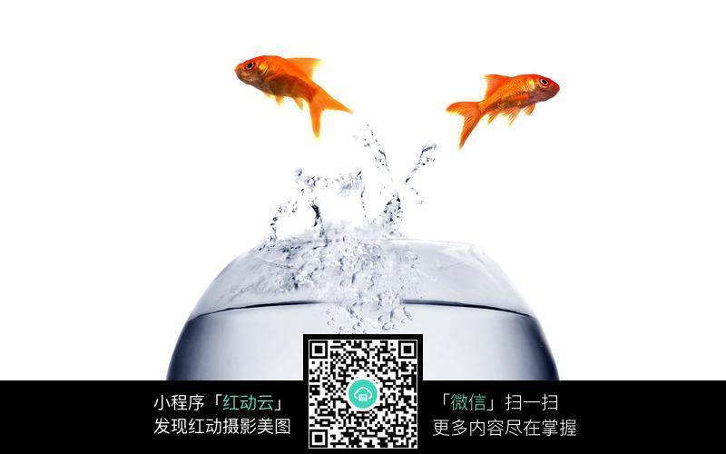 免费素材 图片素材 生物世界 水中动物 跳到空中的金鱼