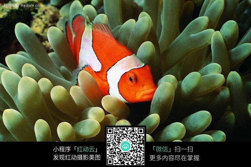 海葵和小丑鱼图片免费下载 红动网