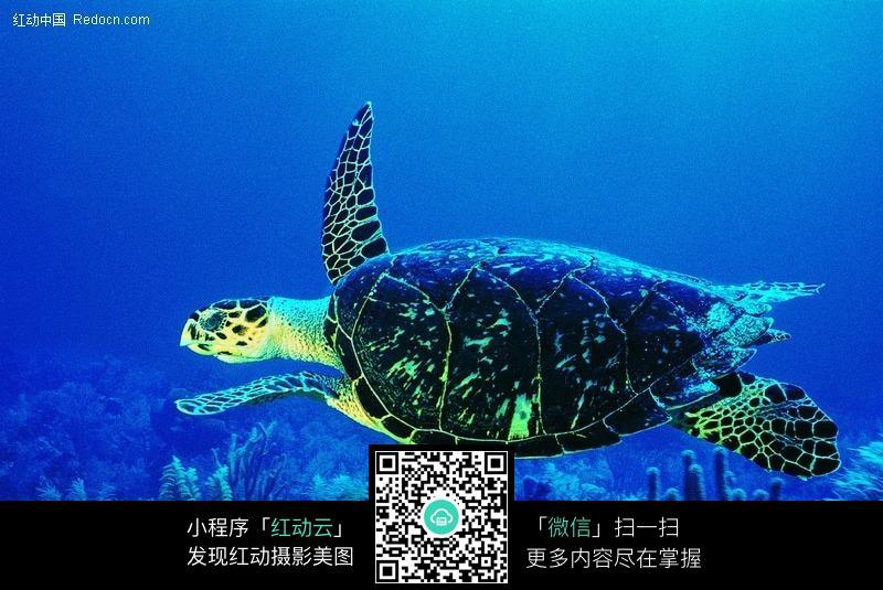 海底的海龟图片_水中动物图片