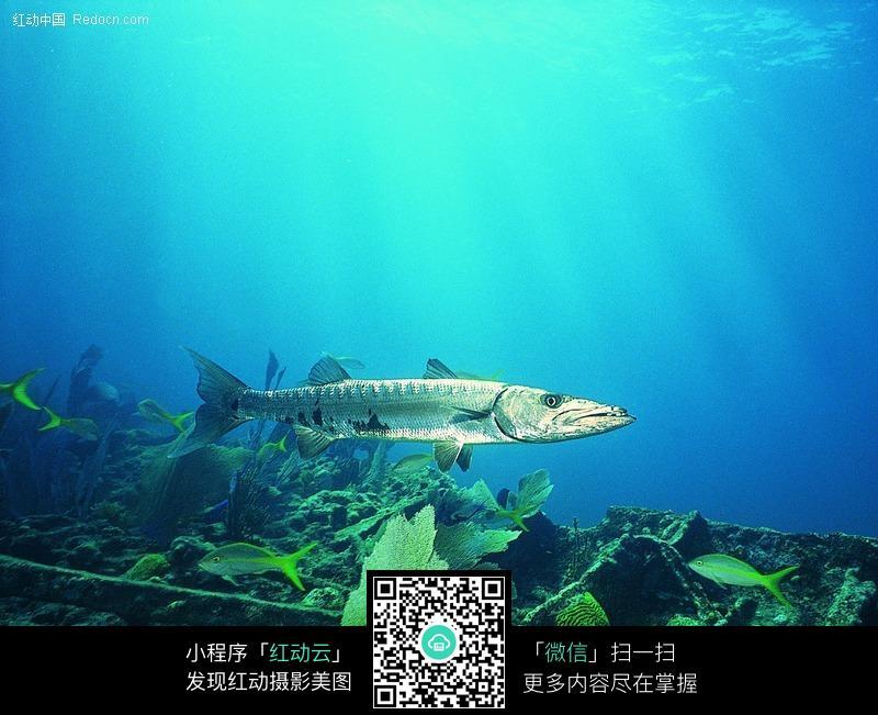 免费素材 图片素材 生物世界 水中动物 一条带鱼  请您分享: 素材描述
