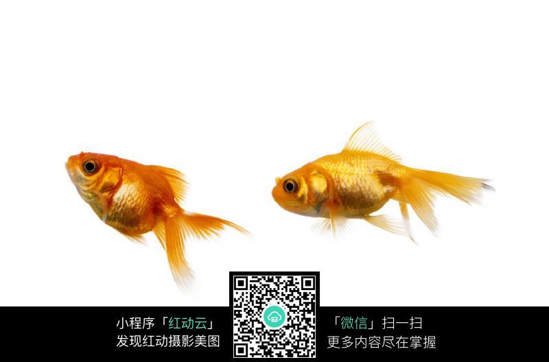 两只金鱼图片_水中动物图片