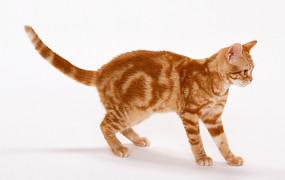专注观察的猫