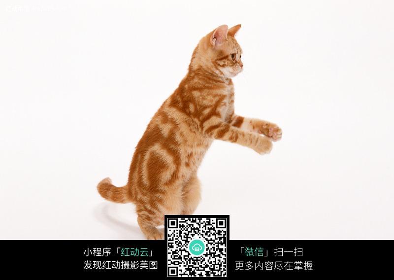 站立着的小猫咪图片_陆地动物图片