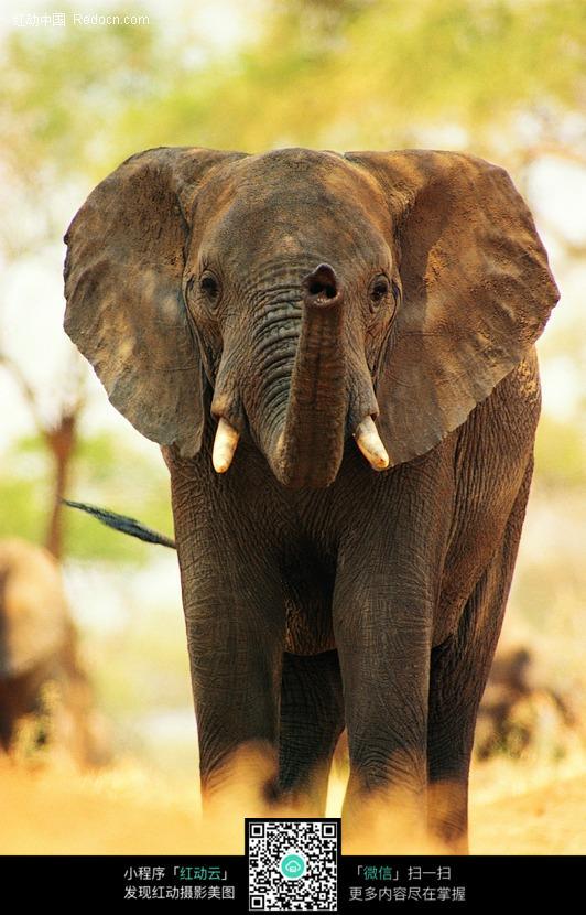 扬起鼻子的大象图片_陆地动物图片