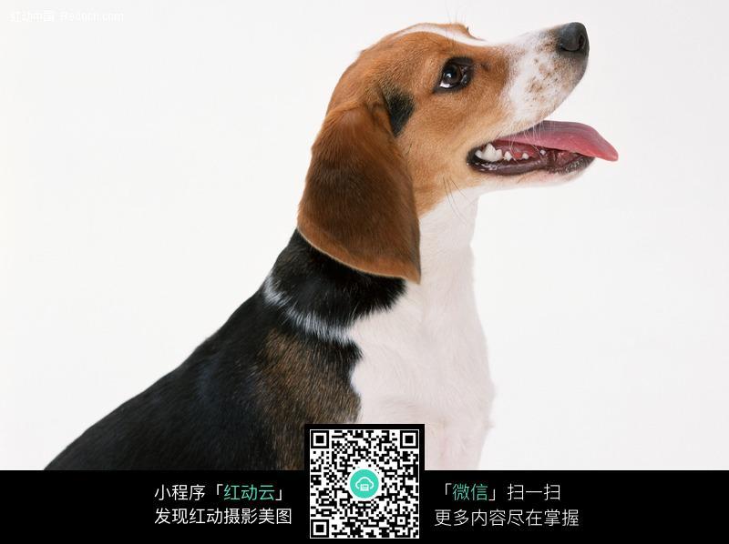 抬头仰望的狗_陆地动物图片