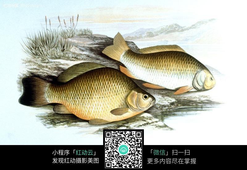 手绘鲫鱼图片