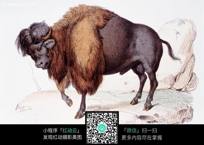 耗牛动物摄影