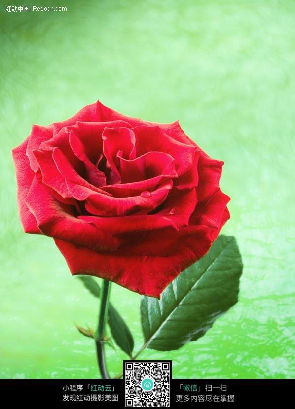 一支红玫瑰花手绘 彩铅作品