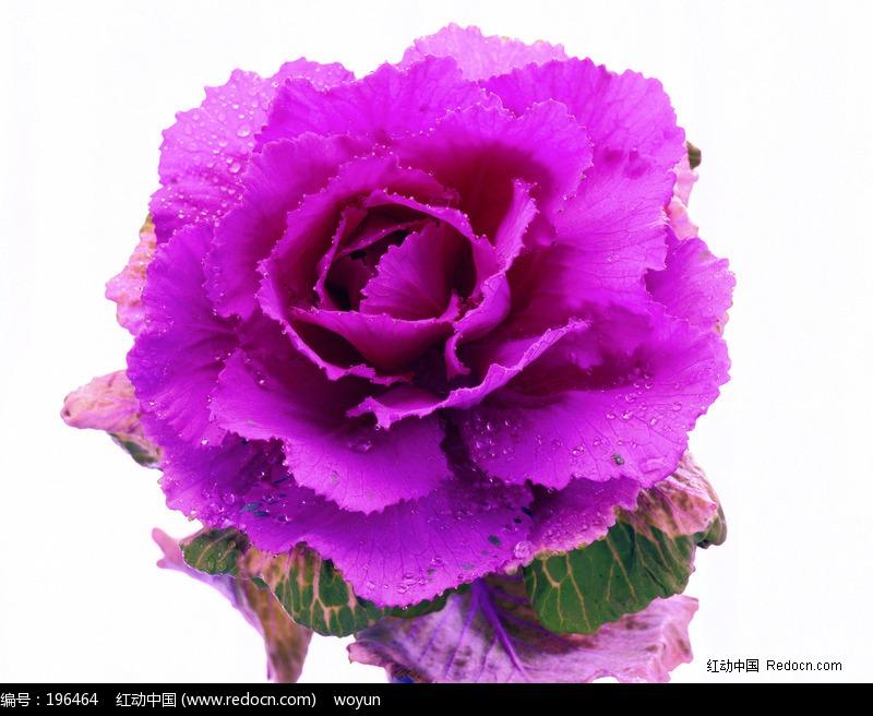 一朵盛开的紫色花朵图片