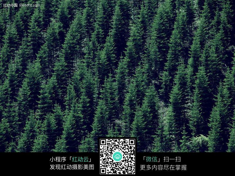 杉树林俯视图图片_花草树木图片