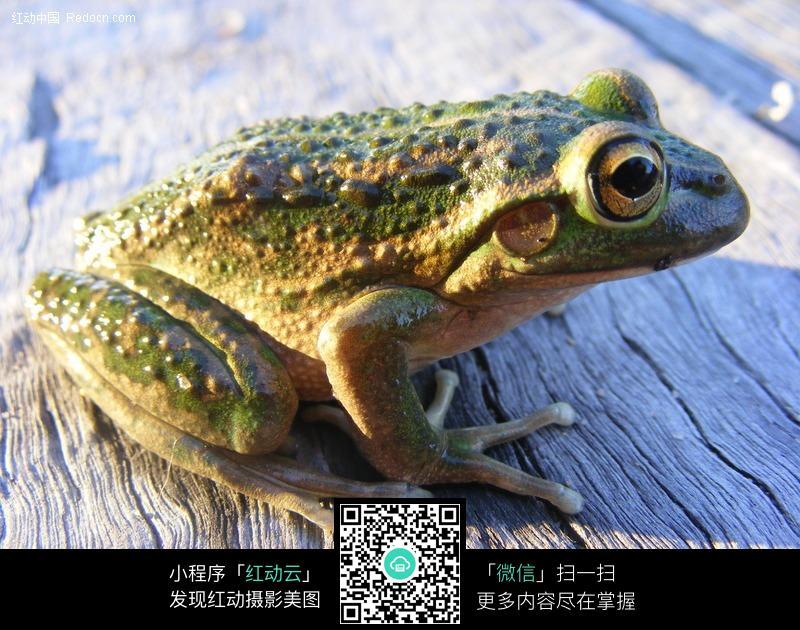 趴在木板上的青蛙图片