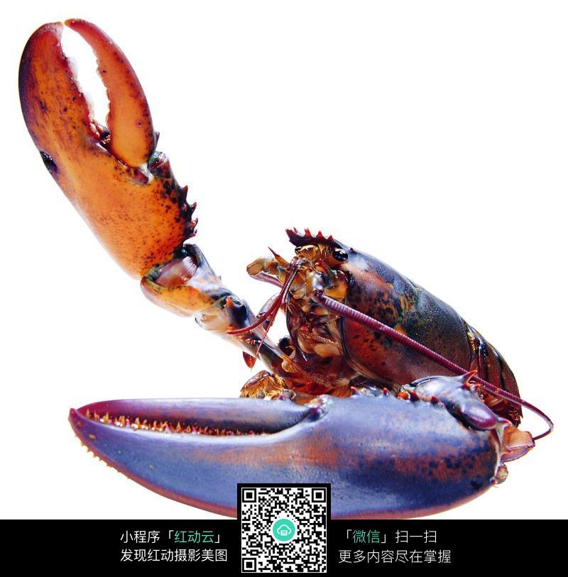 抬起一只大钳子的大龙虾图片免费下载 编号201565 红动网
