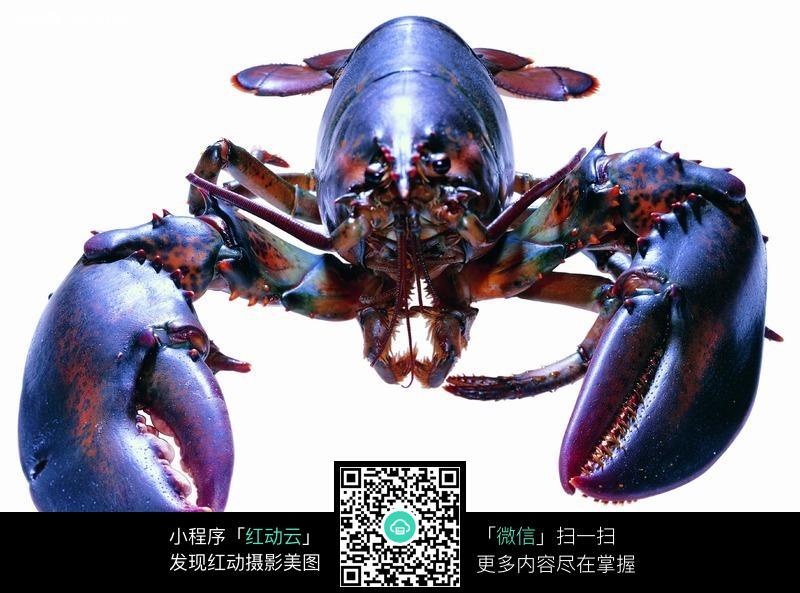 有一对大钳子的龙虾图片