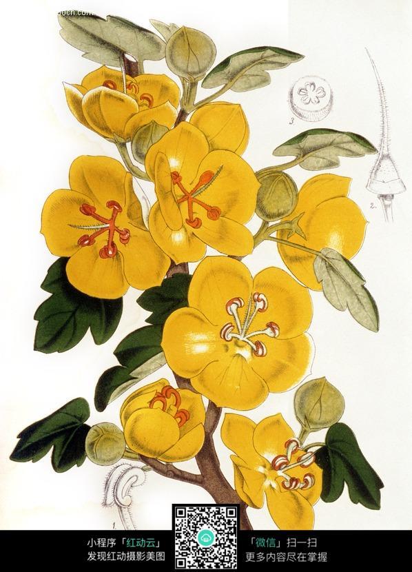 手绘黄色海棠花