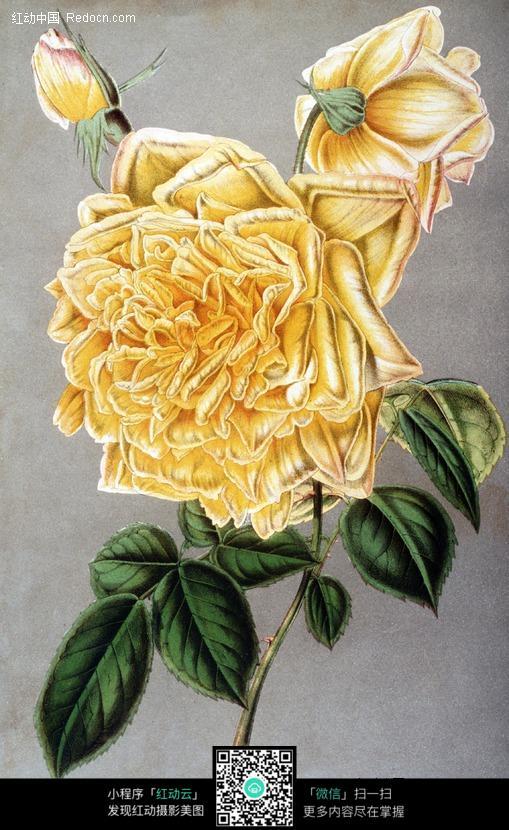 手绘黄色月季花