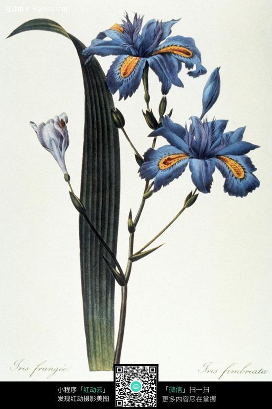 手绘蓝色兰花