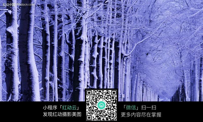 冬天里蓝白色的树木图片_自然风景图片