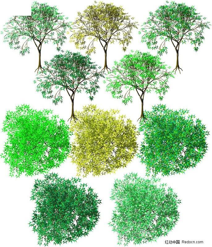 手绘樟叶槭素材_植物