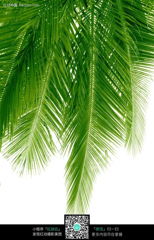 绿色的椰子树叶子
