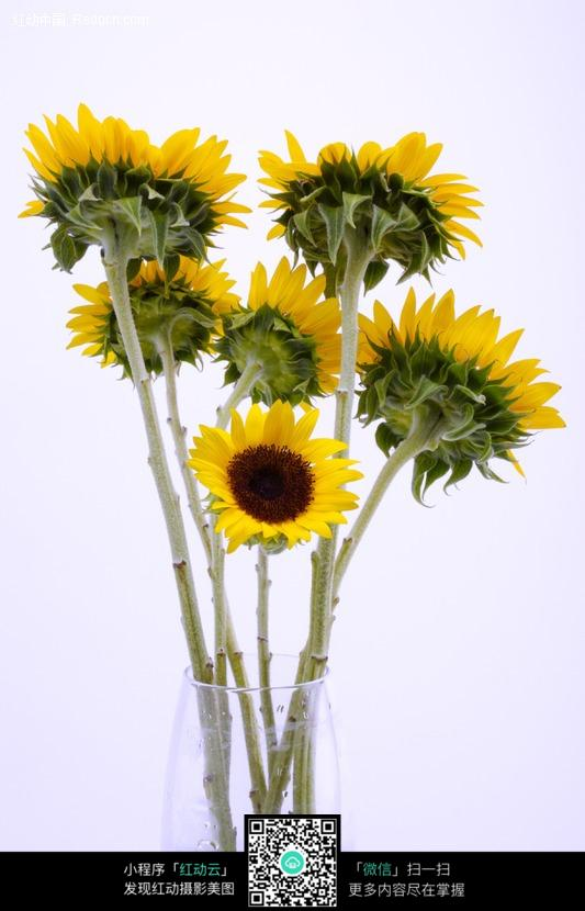 向日葵 葵花 太阳花 花盘  植物图片 植物 摄影图片 植物照片