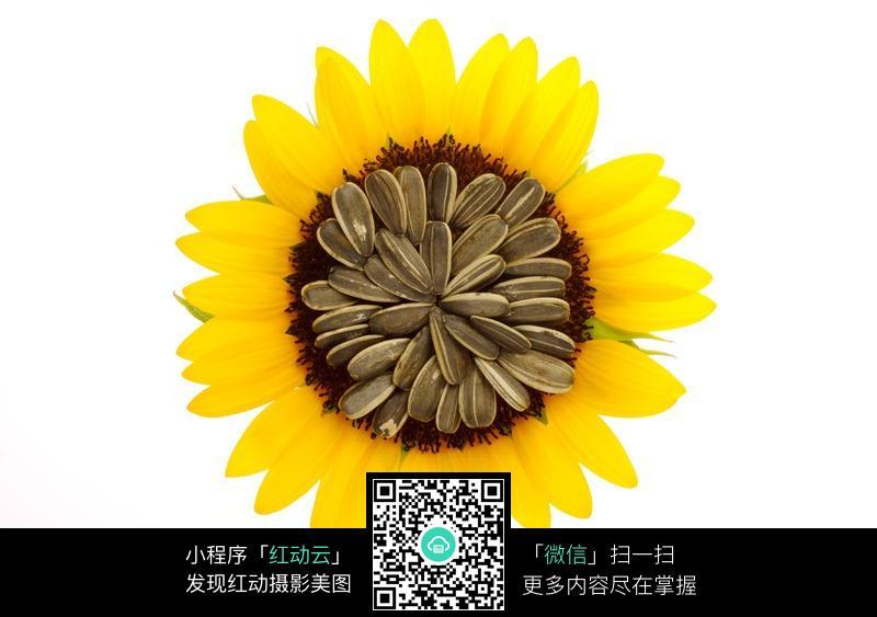 向日葵的a植物幼儿园植物简图片羊的颜笔画表情图片