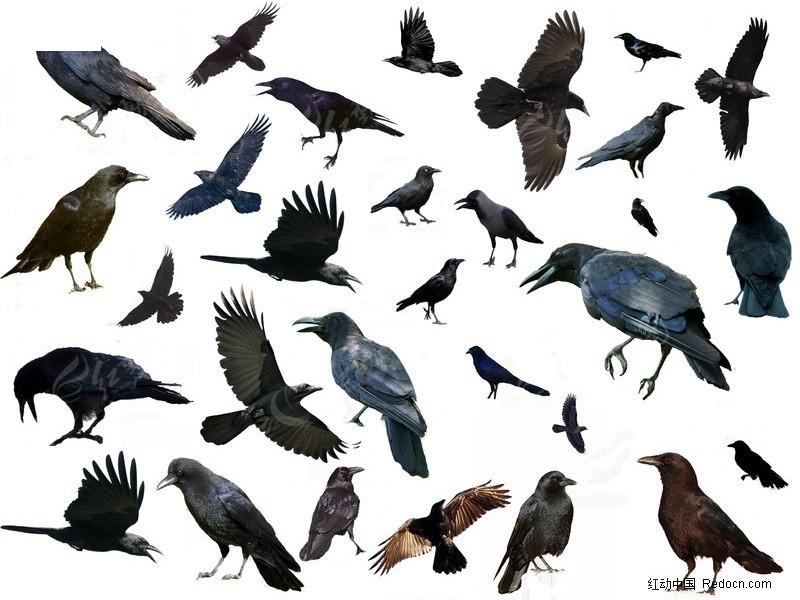 psd动物素材 各种形态乌鸦 乌鸦 禽鸟类 动物素材 设计元素 psd分层