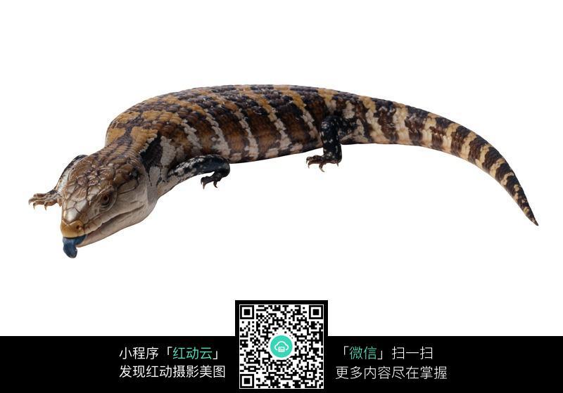 吐着舌头的蜥蜴图片_陆地动物图片
