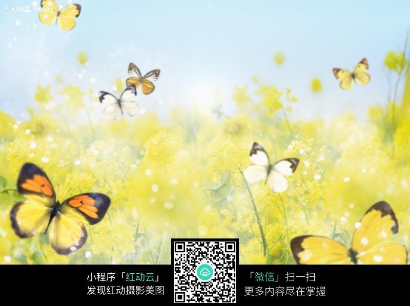 梦幻油菜花蝴蝶背景图片