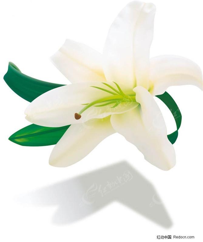 水彩百合花图片素材 手绘百合花图片 唯美白百合花图片 白色百合花