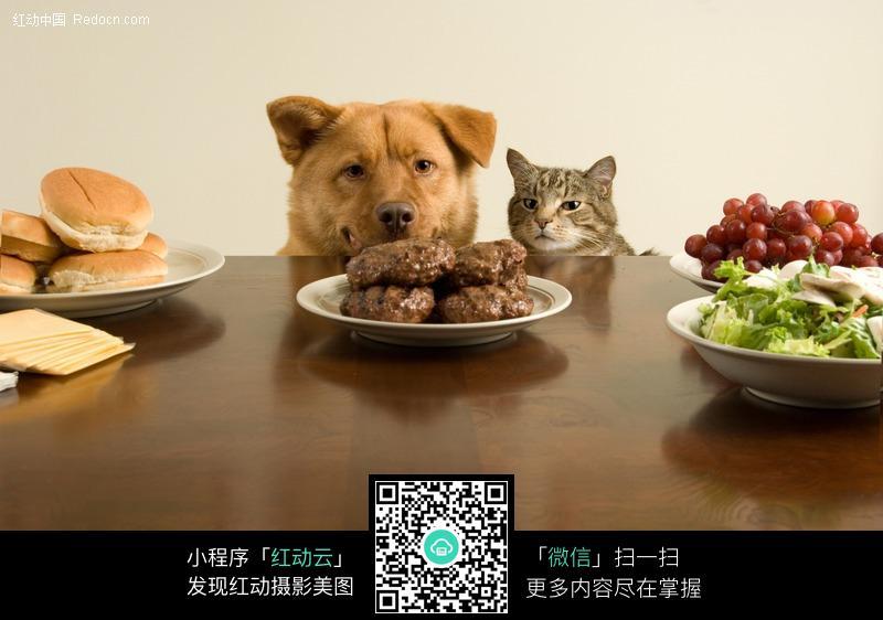 盯着餐桌上食物的宠物猫和图片 动物|植物|生