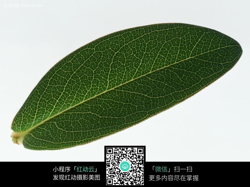 白菜叶脉结构图及说明