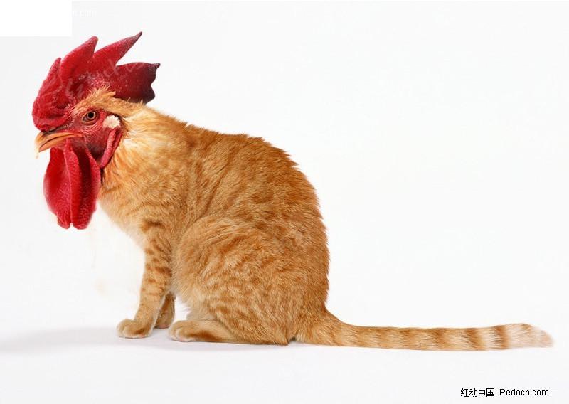 鸡头猫身图片素材