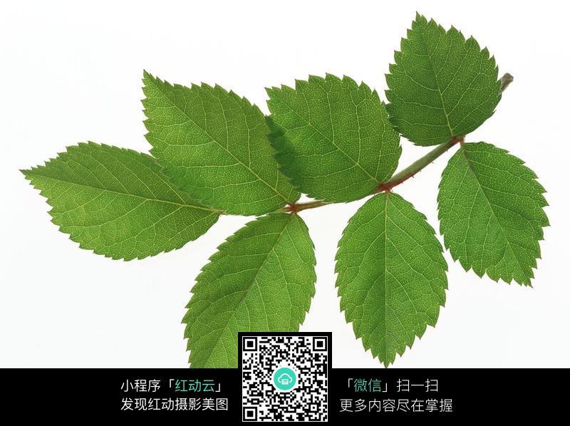 葡萄树叶子