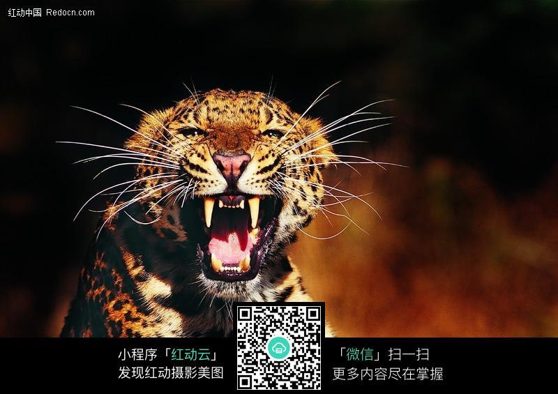 张开嘴巴的豹子_陆地动物图片