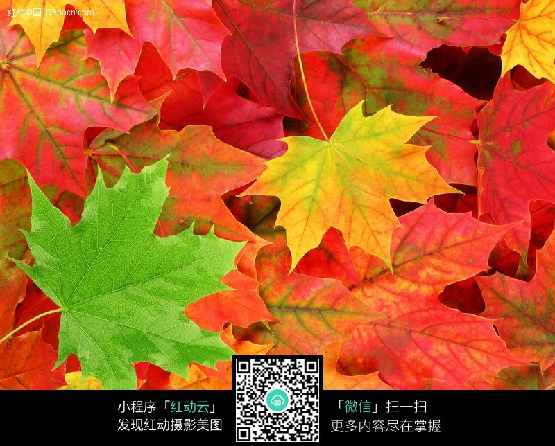 各种颜色的枫叶