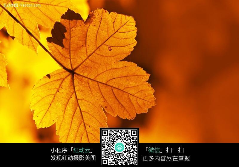 秋天黄色叶子; 秋天的树叶