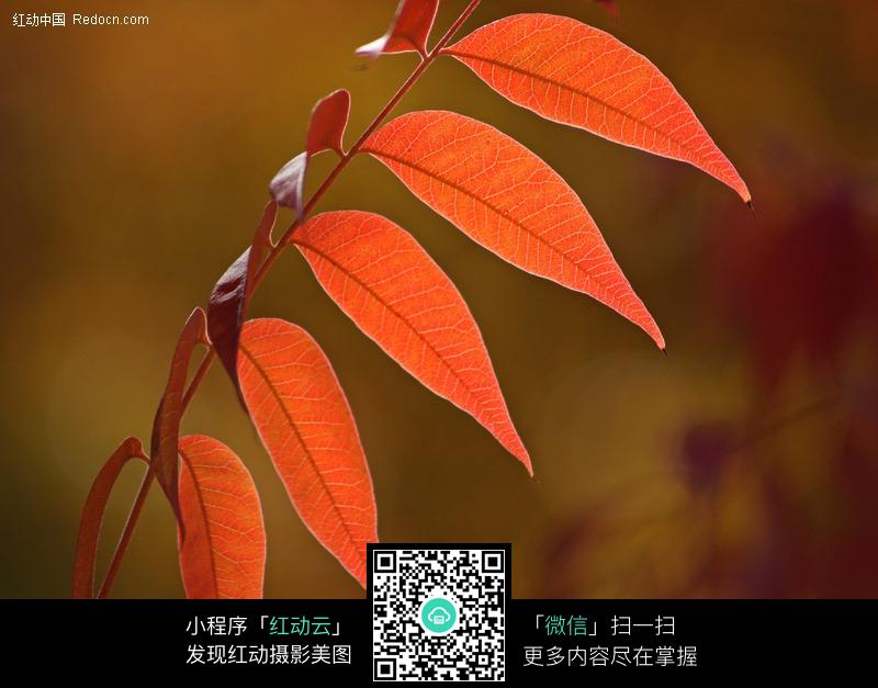 秋天红色的树叶图片_花草树木图片