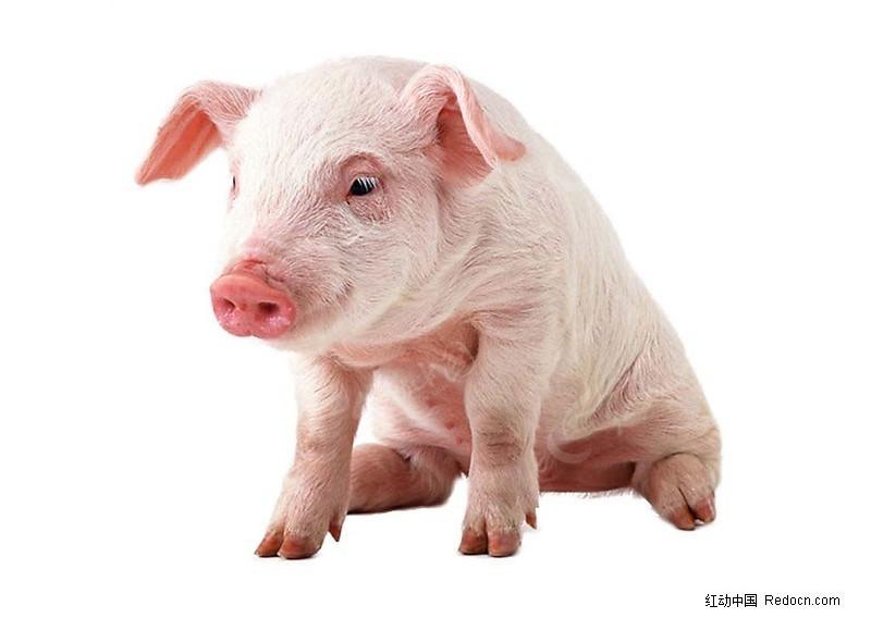 猪图片素材psd免费下载_红动网