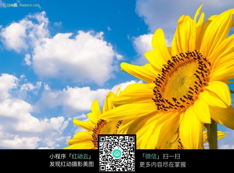 天空下的向日葵
