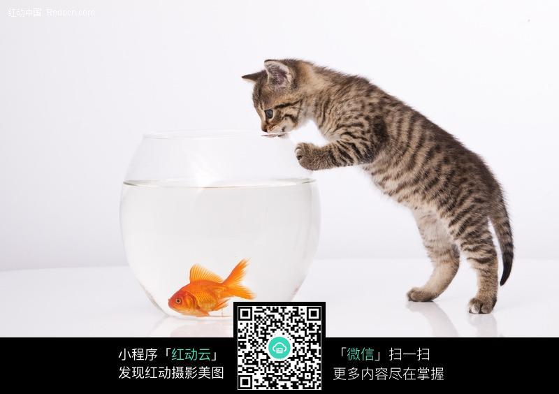 小花猫和鱼缸里的金鱼图片