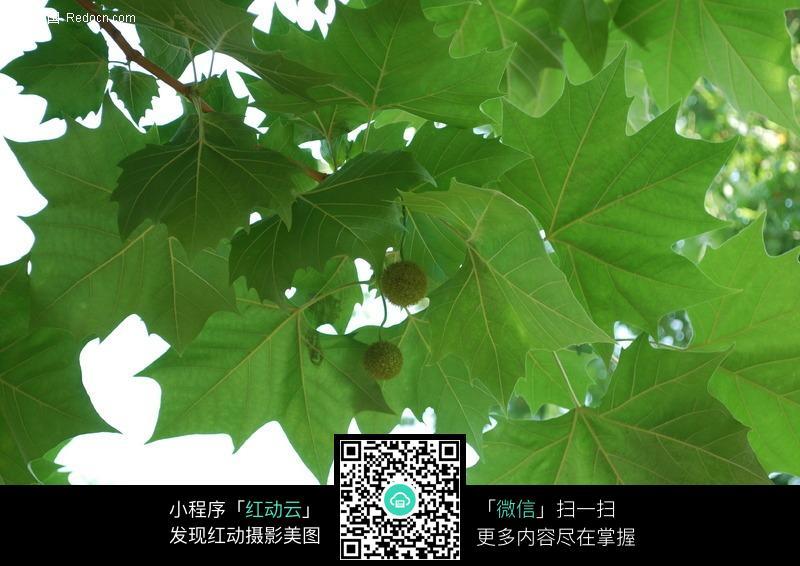悬铃木树叶图片_花草树木图片