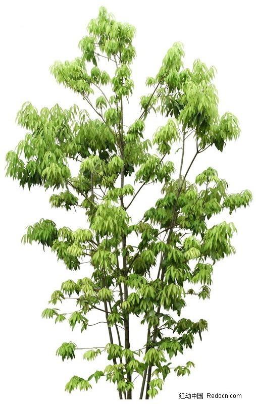 绿色芒果树psd素材_植物_红动手机版