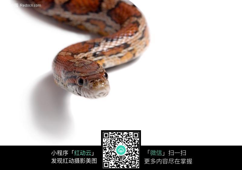 免费素材 图片素材 生物世界 陆地动物 蛇特写