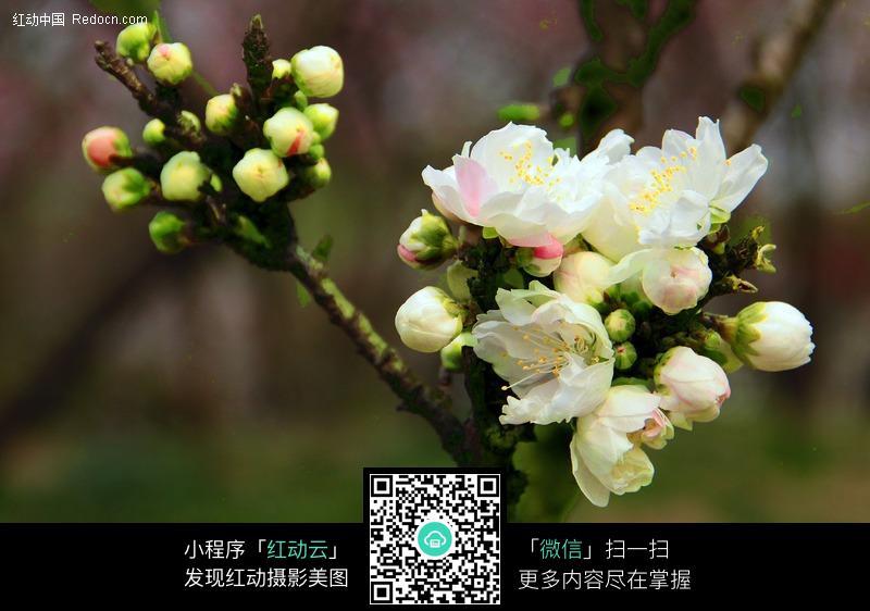 白色海棠花