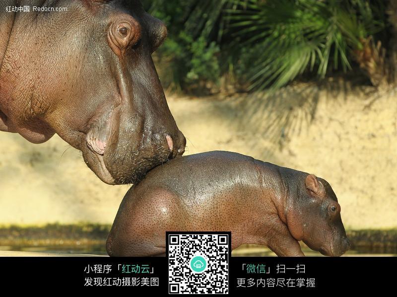 新生的小河马图片_陆地动物图片