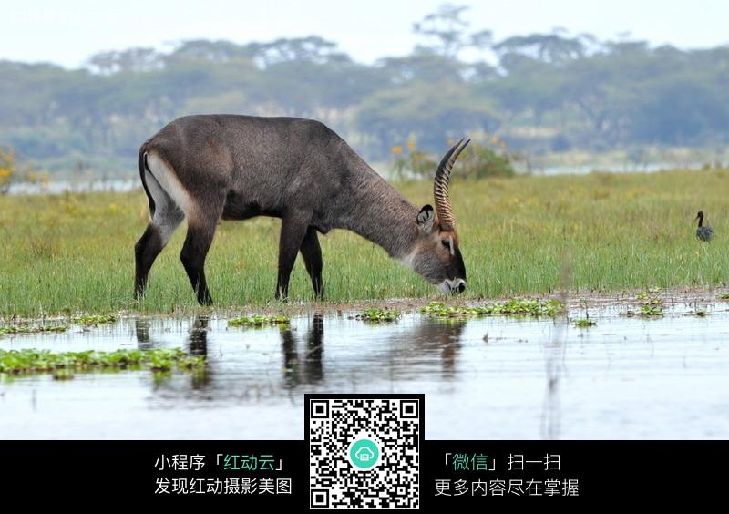 喝水的羚羊图片_陆地动物图片