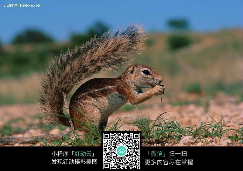 正在吃东西的松鼠_陆地动物图片