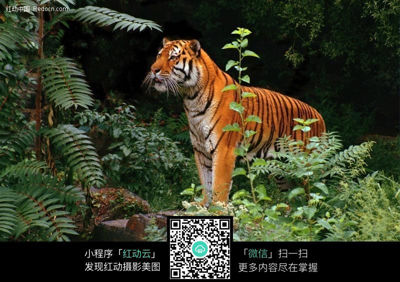 丛林中觅食的老虎图片