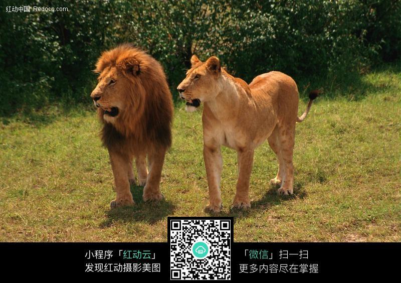 非洲雄狮和母狮图片_陆地动物图片